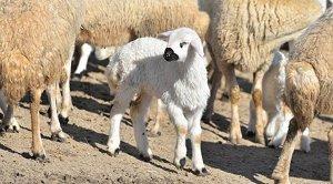 'Tarlaya koyun girdi' kavgası: 2 ölü